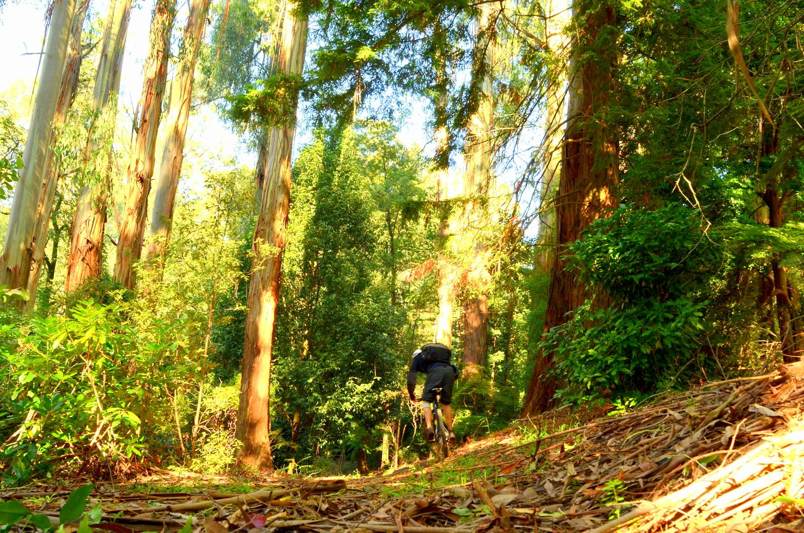 Sherbrooke Australia  city images : Sherbrooke Forest Trail , Mt Dandenong , Victoria , Australia