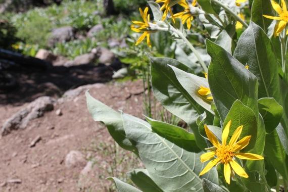 tahoe_flowers