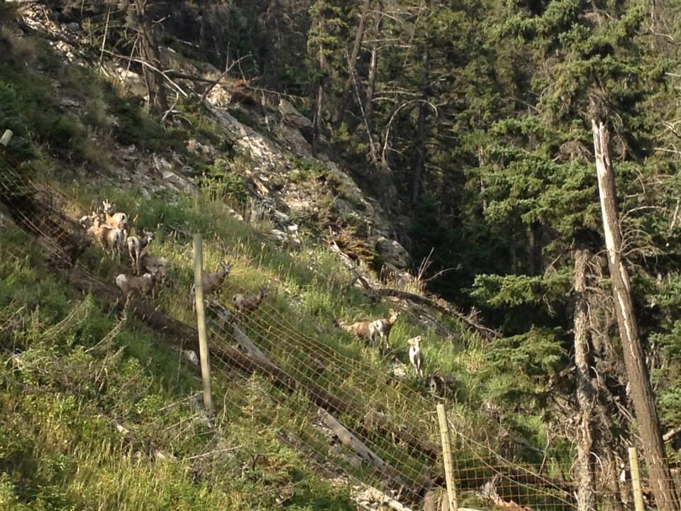 Herd of bighorn sheep.