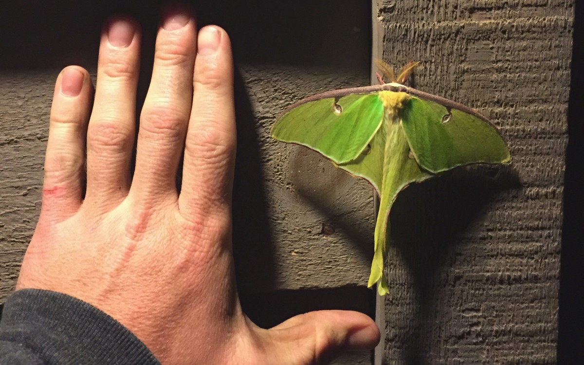 A Lunar Moth outside the bathhouse