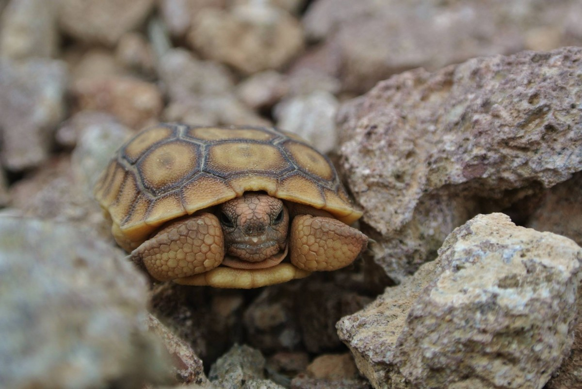 Signs of life in the desert. I ran across this baby tortoise on the Inner Caldera trail.