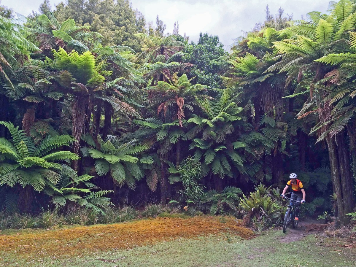 Dominating the Rotorua backcountry are these giant ferns… everywhere