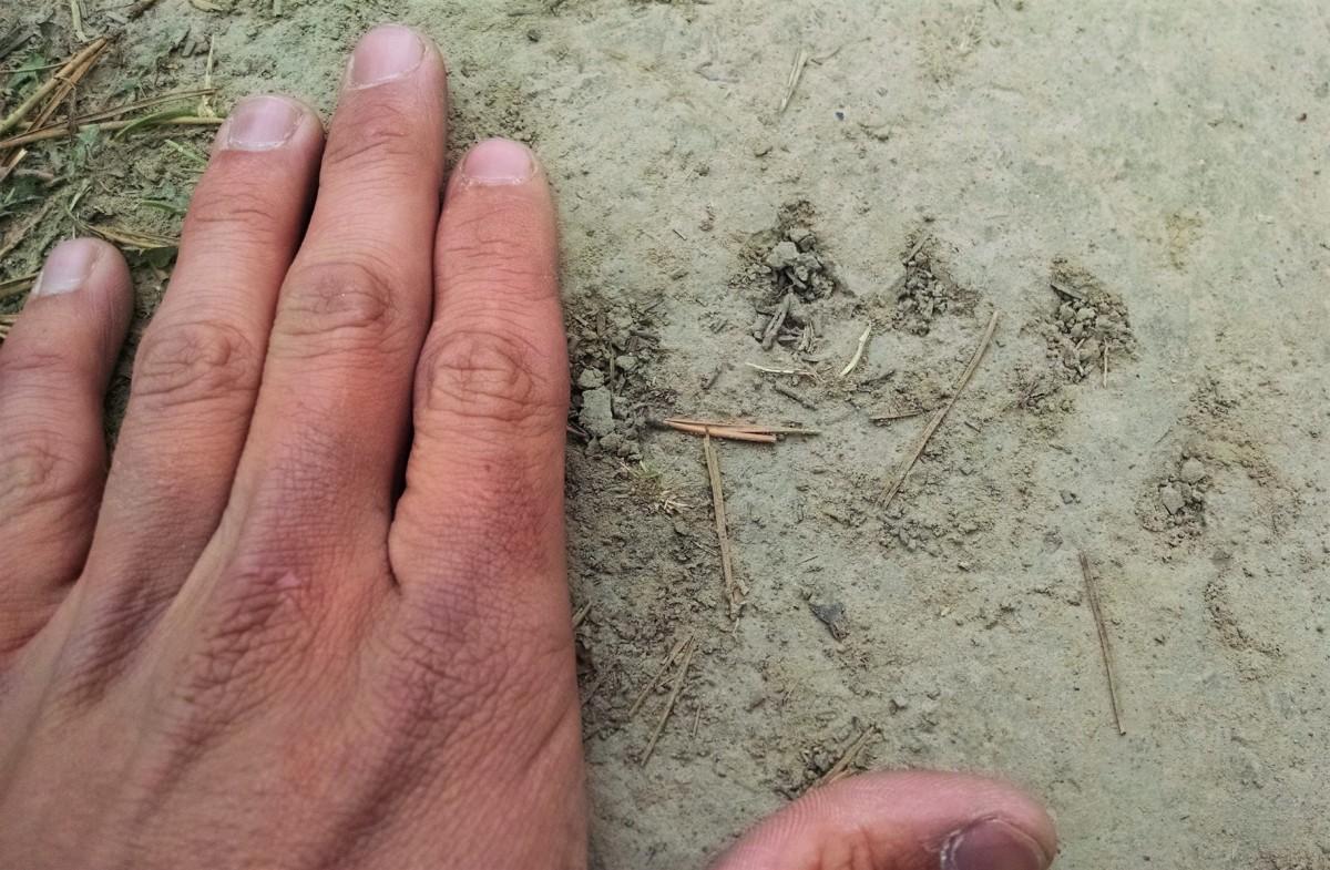 Juvenile black bear paw print on trail