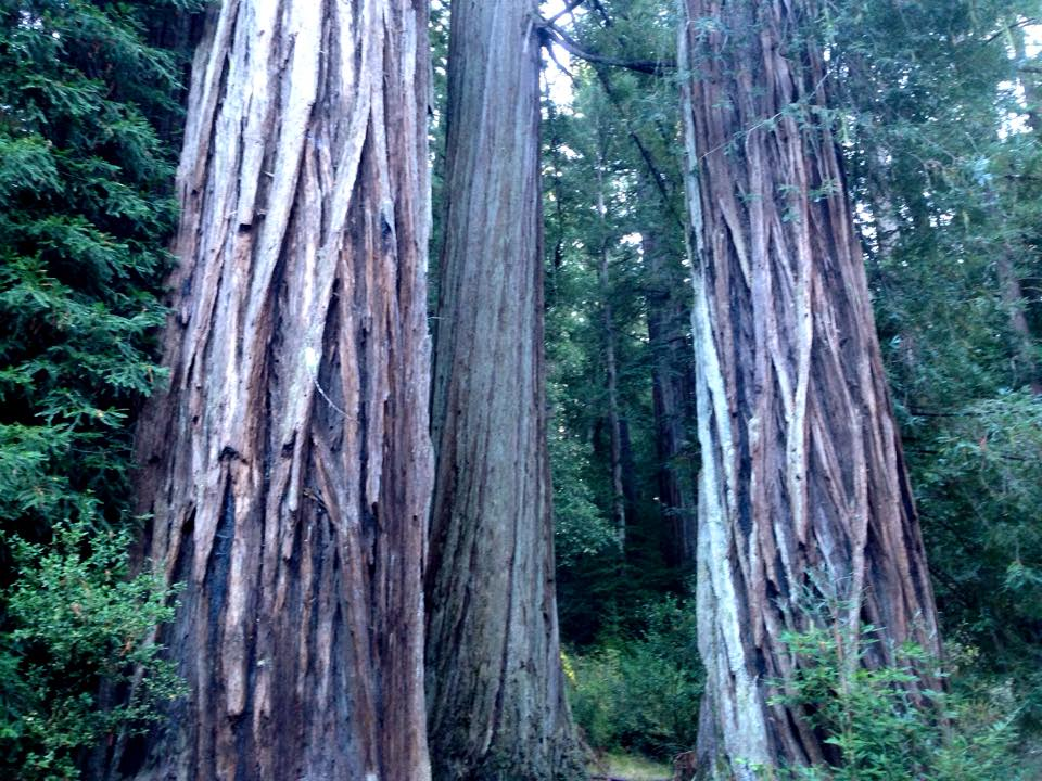 The mighty redwoods! Note: this photo wasn't taken while mountain biking, or on the property in question. Photo: Greg Heil