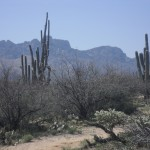 Saguaros and the Santa Catalina Mountains are just a couple of the many delights on the 50 Year Trail
