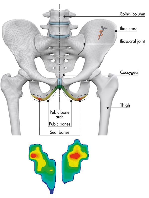 pelvis anatomy - Singletracks Mountain Bike News