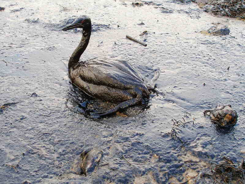 A bird covered in oil from the Black Sea oil spill. Photo via Wikimedia Commons
